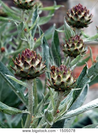 Seed Head  Cardoon