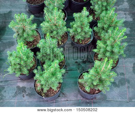 Many black pots with soil and seedlings of pine trees. Top view.