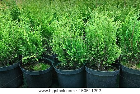 Many black pots with soil and seedlings of coniferous trees. Close up.