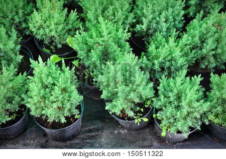 Many black pots with soil and seedlings of coniferous trees. Top view.