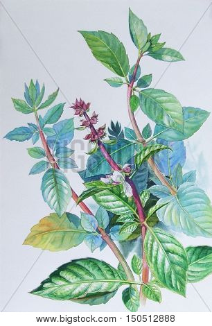Watercolor painting original realistic herb of basil and green leaves in white background. Original painting