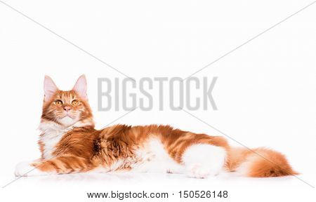 Portrait of domestic red Maine Coon kitten - 8 months old. Adorable cat lying down and looking up. Curious young orange striped kitty isolated on white background.