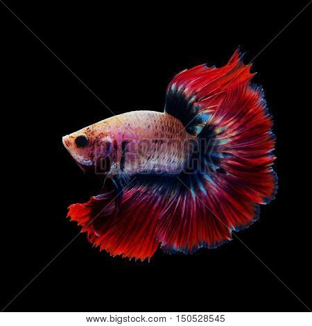 Siamese red fighting fish isolated on black background.