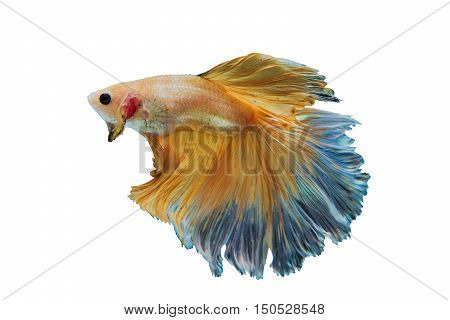 Siamese Yellow fighting fish isolated on White background