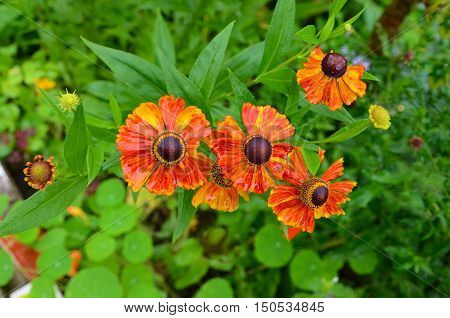 Red orange Helenium autumnale is a North American flowering plants. Beautiful background for autumn concept
