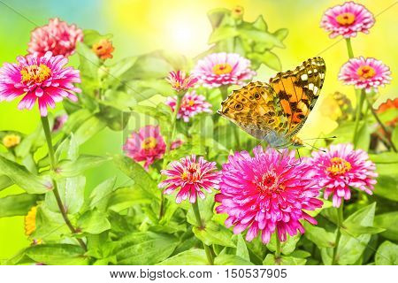 Blooming pink zinnias and tortoise butterfly on the flowerbed in the garden on a sunny summer day close up. Selective focus