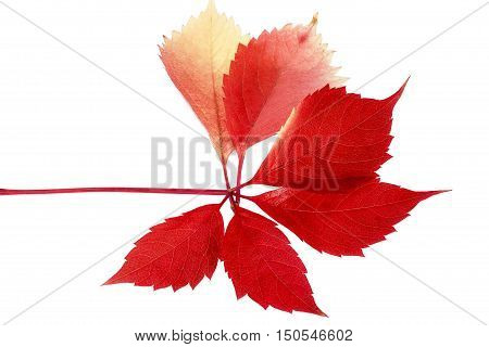 Leaf of parthenocissus in autumnal colors isolated on white background