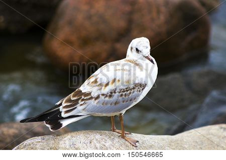 White Sea Gull on the beach on the stone