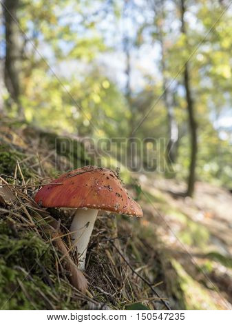 Red poisonous mushroom in a Swedish forest