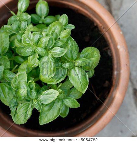 Green basil in a clay pot