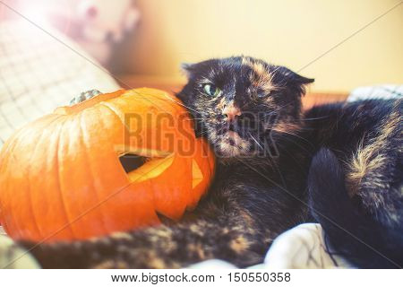 Cat Holda Halloween Pumpkin With Agressive Face