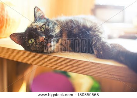 Triple Color Cat On Wood Table With Pumpkin And Bright Light From Window, Vintage Effect