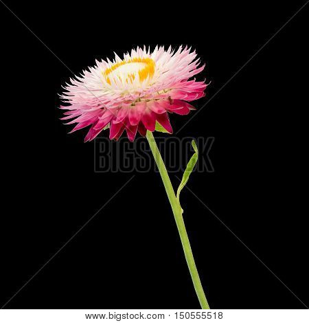 Strawflower with stalk on a blac background. Isolated from background.
