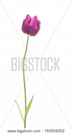 beautiful unusual raspberry red tulip on a long thin green stalk with a leaf on a white background isolated vertical