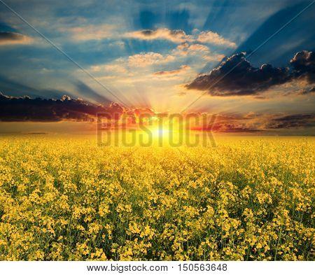 Scene with nice sunset over rape field