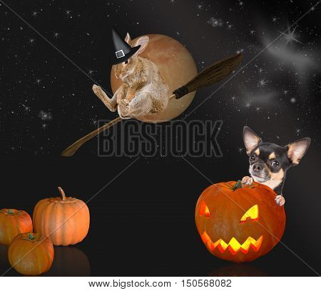 Scare chihuahua dog after pumpkin with witch rabbit halloween