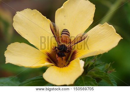 A honey bee extracting nectar from a yellow flower.