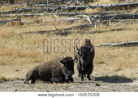 Two Bison rest in the sun at the Grand Teton National Park