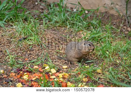 pouched marmot feed on the meadow on grass seeds and fruits
