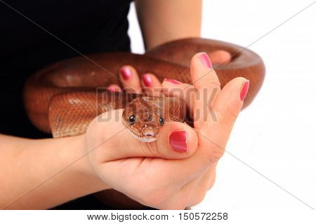 Rainbow Boa Snake And Human Hands
