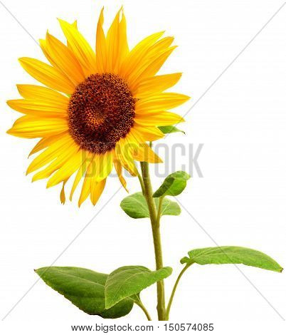 Sunflower isolated on white background. Flat. Yellow