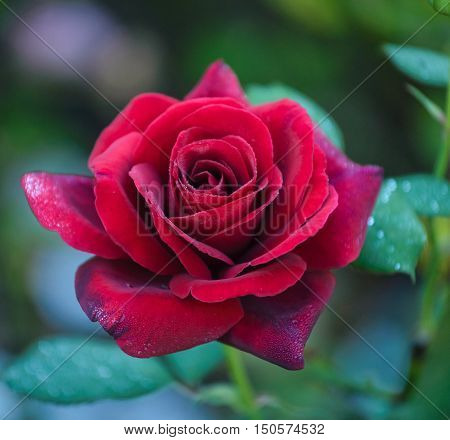 Close up of red,elegant rose Duftzauber 86  with water drops on petals.
