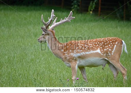 Forest animals fallow deer looks into the distance