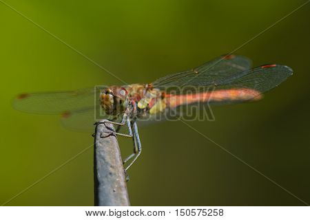 Close up of red dragonfly against green background.