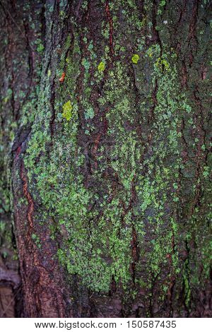 texture of tree bark covered with lichen tree bark covered with moss