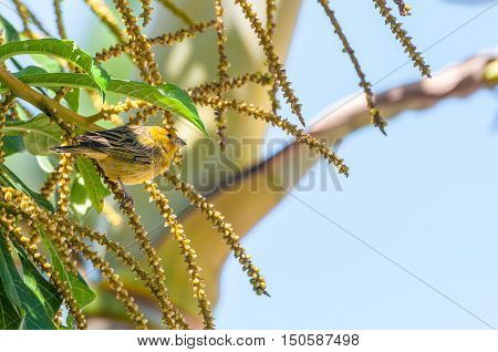 Canarinho bird on a branch of a tree. Seems like the bird is hiding of the sun underneath the leaf.