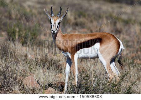 Springbok - Look At Me Mom