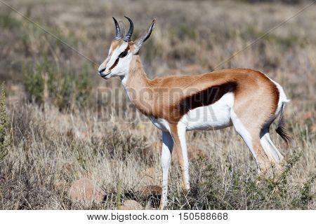Cute Springbok Standing In A Field Of Long Grass