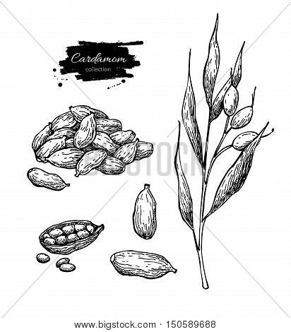 Cardamom vector hand drawn illustration set with plant and seeds. Isolated spice object. Engraved style seasoning. Detailed organic product sketch. Cooking flavor ingredient. Great for label, sign, icon