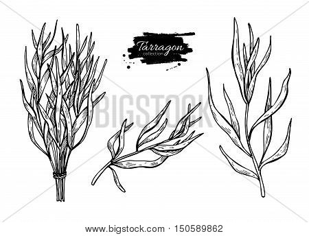 Tarragon vector hand drawn illustration set. Isolated spice object. Engraved style seasoning. Detailed organic product sketch. Cooking flavor ingredient. Great for label, sign, icon