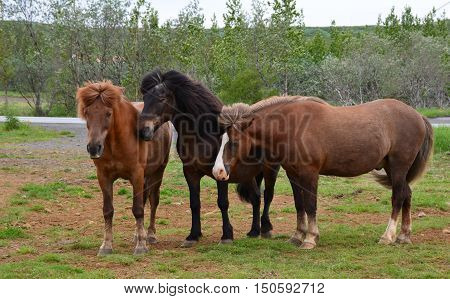 Icelandic horses are a common sight while driving in Iceland.
