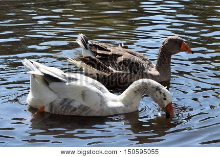 Photograph of geese swimming in a lake.