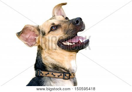 Dog isolated on white background is an excited eager puppy dog with a big smile on his face.