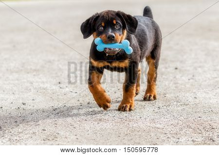 Portrait Of Rottweiler Puppy Holding A Blue Rubber Bone In Mouth