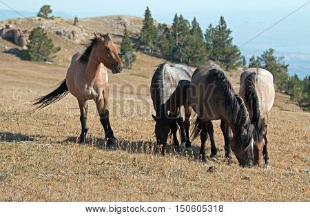 Band of Wild Horses grazing on Sykes Ridge in the Pryor Mountains Wild Horse Range in Montana - United States