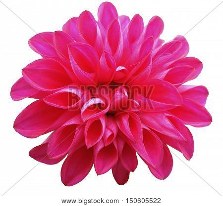 flower pink dahlia isolated on white background. It can be used in website design and printing. Suitable for designers. Closeup.