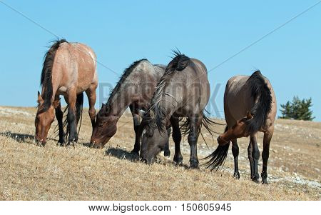 Band of Wild Horses grazing together on Sykes Ridge in the Pryor Mountains Wild Horse Range in Montana - Wyoming USA
