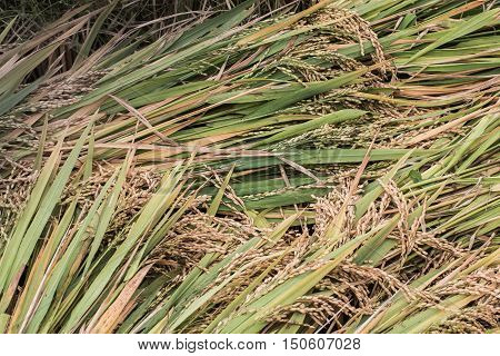 Rice, pile of paddy, whole rice, harvested rice, raw rice, Asian staple