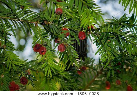 Yew-tree in a park at close range