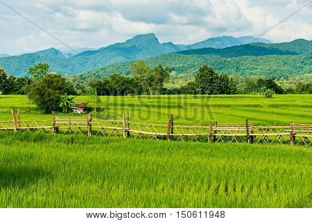 Rice farm with farmer's hut countryside of Thailand