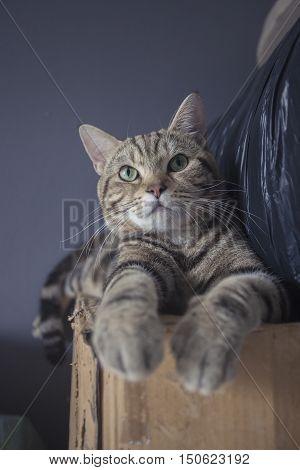 Gray and Black Tabby Cat Relaxing on boxAmerican shorthair cat