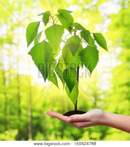 Small tree growing in woman hand. Concept of new life.