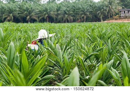 View of woker spraying pesticides between rows of oil palm trees in main Plantation nursery in Borneo Malaysia.