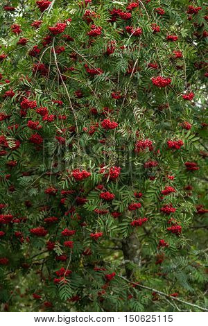 A Tree With Berries
