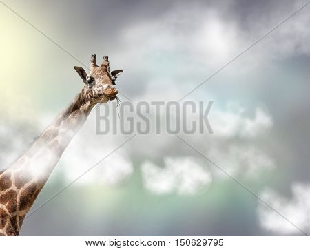 The head of a giraffe above white clouds in front of gray sky