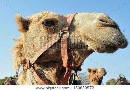 A photo of an Arabian Camel Head Close-Up.